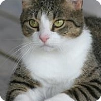 Domestic Shorthair Cat for adoption in North Fort Myers, Florida - Hilda