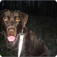 Adopt A Pet :: Maya the Lab - Rigaud, QC