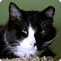 Adopt A Pet :: Sir Popper - Chicago, IL