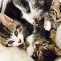 Adopt A Pet :: AAA Kittens - Jupiter, FL