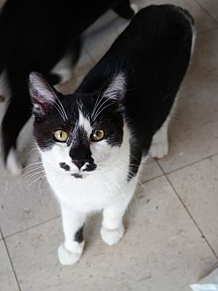 Domestic Shorthair Cat for adoption in San Pablo, California - JIMMY