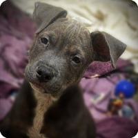 Adopt A Pet :: Merle - Burleson, TX