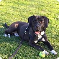 Adopt A Pet :: Sam - Boston, MA
