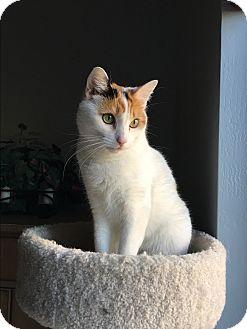 Calico Cat for adoption in Mesa, Arizona - Vanessa
