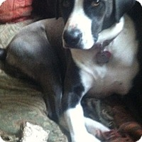 Pointer/Labrador Retriever Mix Dog for adoption in Spring, Texas - Sandie