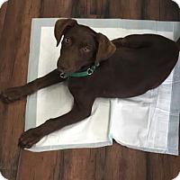 Adopt A Pet :: Mocha - San Diego, CA