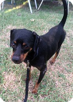 Miniature Pinscher Mix Dog for adoption in Verona, New Jersey - Jackie Brown: Adoption Pending
