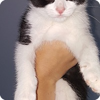 Domestic Shorthair Kitten for adoption in Toledo, Ohio - Isaac