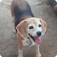 Adopt A Pet :: Bella - Apple Valley, CA
