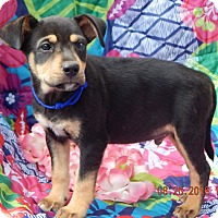 German Shepherd Dog/Rottweiler Mix Puppy for adoption in West Sand Lake, New York - Copper (7 lb) Video!