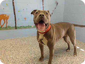 Pit Bull Terrier Mix Dog for adoption in San Bernardino, California - URGENT on 9/21 SAN BERNARDINO