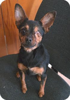 Chihuahua Mix Dog for adoption in San Pablo, California - LISA