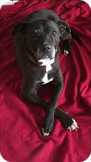 Labrador Retriever Mix Dog for adoption in Studio City, California - Sophie