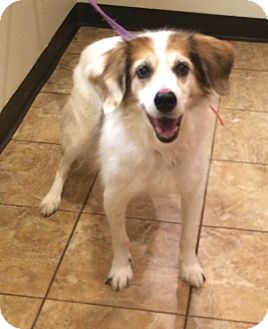 Brittany/Sheltie, Shetland Sheepdog Mix Dog for adoption in Oak Ridge, New Jersey - Bogart