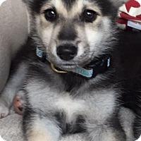 Adopt A Pet :: Duke - Chicago, IL