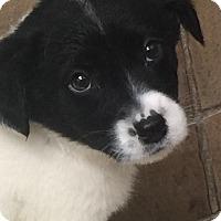 Adopt A Pet :: Sweet Potato - Oswego, IL