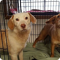Adopt A Pet :: Shirley - Patterson, NY