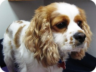 Cavalier king charles spaniel lab mix