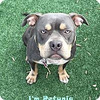 Adopt A Pet :: Petunia - San Jose, CA