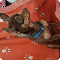 Adopt A Pet :: Sugar Brown - Marietta, GA