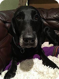 Basset Hound/Labrador Retriever Mix Dog for adoption in Dallas, Texas - Shelby - Guest