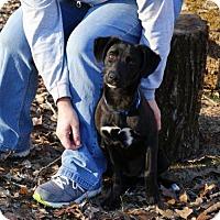 Adopt A Pet :: Biscuit - Pocahontas, AR