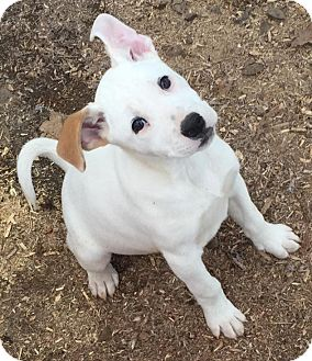 jack russell lab mix white
