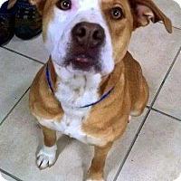 Adopt A Pet :: Ginger - New Kensington, PA