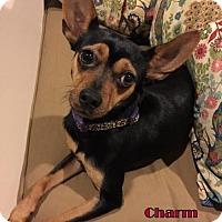 Miniature Pinscher Mix Dog for adoption in Rhome, Texas - Charm