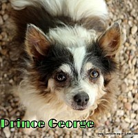 Chihuahua/Papillon Mix Dog for adoption in Rhome, Texas - Prince George