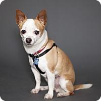 Adopt A Pet :: Chachi - Thousand Oaks, CA