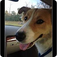 Australian Shepherd/Australian Cattle Dog Mix Dog for adoption in Conroe, Texas - Goldie