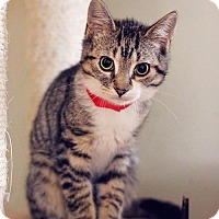 Domestic Shorthair Cat for adoption in Markham, Ontario - Skittles