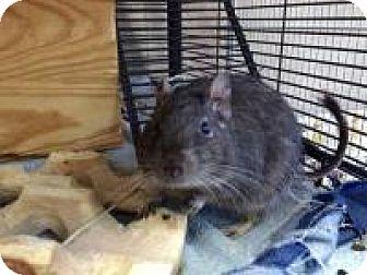 Degu for adoption in Quilcene, Washington - Mahalia & Mercy