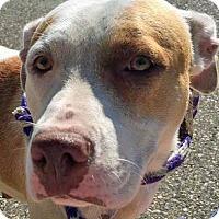 Adopt A Pet :: Cookie Dough - Troy, MI