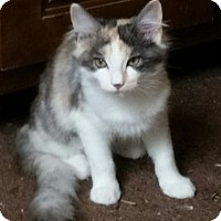 Domestic Longhair Cat for adoption in Hamilton, Georgia - Siggy