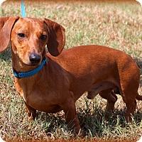 Adopt A Pet :: Dash - Glastonbury, CT
