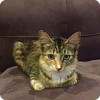 Domestic Mediumhair Kitten for adoption in Bulverde, Texas - Roxy 2