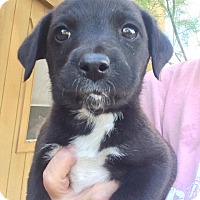 Border Collie/Australian Cattle Dog Mix Puppy for adoption in Cave Creek, Arizona - Talia