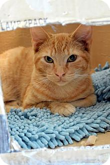 Domestic Shorthair Cat for adoption in Aiken, South Carolina - Gregg