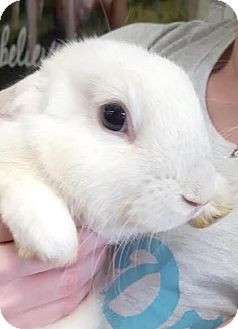 Mini Lop Mix for adoption in Los Angeles, California - Tristan