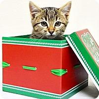 Domestic Shorthair Kitten for adoption in Dublin, California - Acorn