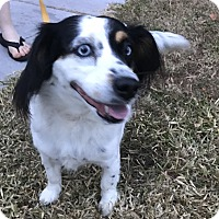 Adopt A Pet :: Hailey - Palm Harbor, FL