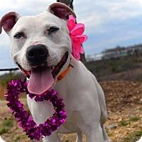 Adopt A Pet :: Lilly - Chatham, VA