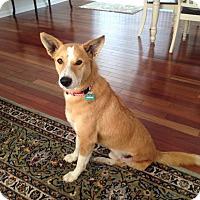 Adopt A Pet :: Sheru-Three legged Indian Dog - Monroe, NJ