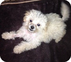 Maltese Mix Puppy for adoption in San Diego, California - Jumbo Jack