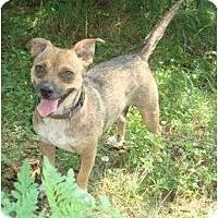 Adopt A Pet :: Bella Star - Allentown, PA