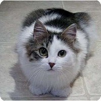 Adopt A Pet :: Cosette - Portland, ME
