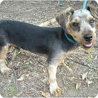 Adopt A Pet :: Oboo- Yorkie - Charleston, AR