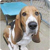 Adopt A Pet :: Billy the Basset Boy - Richmond, VA